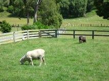 Shorn Sheep in Green Field, New Zealand Stock Photos