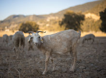Shorn Sheep. And Ram Grazing in Dry Earth. Turkey Mixed Kivircik Breed Royalty Free Stock Image