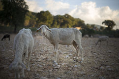 Shorn Sheep. And Ram Grazing in Dry Earth. Turkey Mixed Kivircik Breed Stock Photography