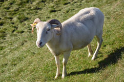 Shorn Sheep Royalty Free Stock Images