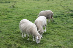 Shorn Sheeps. Little bunch of shorn sheeps and lambs Stock Image
