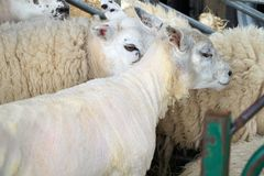 Shorn and Woolly Sheep In Pen. Close up of several white sheep in a holding pen, one sheared Royalty Free Stock Photography