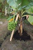 Short banana tree with fruit Royalty Free Stock Photo