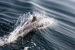 Common Dolphin in Atlantic Ocean off Cape Cod, MA royalty free stock images