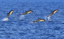 Short Beaked Common Dolphins Jumping Royalty Free Stock Photos