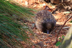 Echidna foraging. The Short-beaked Echidna - a monotreme and native to Australia - on the move in its bushland habitat Royalty Free Stock Photos
