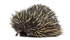 Short-beaked echidna isolated on white. (20 years old Stock Images