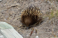 Short  beaked - echidna searching for food Stock Photos