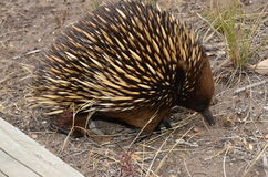 Short  beaked - echidna searching for food Royalty Free Stock Photography