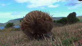Short-beaked Echidna searching food stock footage