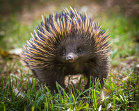 Short-beaked echidna Stock Photo