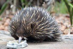 Short-beaked Echidna (Tachyglossus aculeatus) Royalty Free Stock Photography
