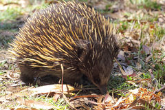 Short-beaked Echidna (Tachyglossus aculeatus) Royalty Free Stock Photos