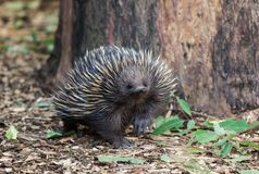 Wild short-beaked echidna, Tachyglossus aculeatus, walking in the eucalyptus forest. Australia. stock image