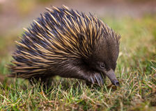 A short-beaked echidna Tachyglossus aculeatus walking on the g Royalty Free Stock Images