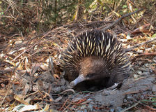Short-beaked Echidna. This short-beaked Echidna was found near Cranbourne in Victoria, Australia. They are very good diggers, and while not exactly aggressive Royalty Free Stock Photo