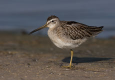 Short-billed Dowitcher. At Ft. Desoto in St. Petersburg Florida Stock Photo
