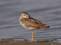 Short-billed Dowitcher. At Ft. Desoto in St. Petersburg Florida Royalty Free Stock Photo