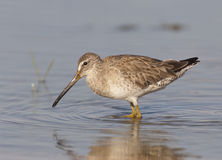 Short-billed Dowitcher. At Ft. Desoto in St. Petersburg Florida Royalty Free Stock Photography