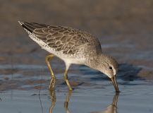 Short-billed Dowitcher. In water probing for food in muc Royalty Free Stock Photo