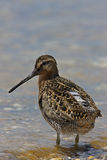Short-billed Dowitcher. (Limnodromus griseus griseus), Spring migrant in breeding plumage standing in water Stock Images
