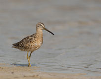 Short-billed Dowitcher on beach. With water background Stock Photography