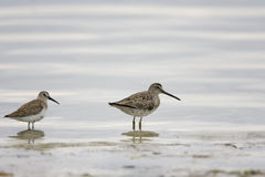 Short-billed Dowitcher and a Dunlin. A Short-billed Dowitcher and a Dunlin feed together in the surf Stock Photos