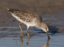 Short-billed Dowitcher fishing for food. On beach Royalty Free Stock Photo