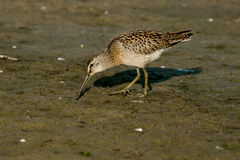 Short-billed Dowitcher. Foraging in the mud Stock Photography