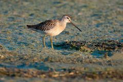 Short-billed Dowitcher. Foraging in the mud Royalty Free Stock Photography