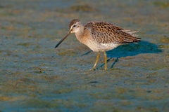 Short-billed Dowitcher. Foraging in the mud Stock Photo