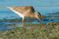 Short-billed Dowitcher. Foraging in the slime at the edge of the water Royalty Free Stock Photography