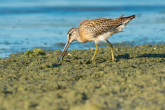 Short-billed Dowitcher. Foraging in the slime at the edge of the water Royalty Free Stock Photo
