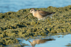 Short-billed Dowitcher. Foraging in the slime at the edge of the water Royalty Free Stock Image