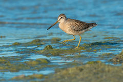 Short-billed Dowitcher. Foraging in the slime at the edge of the water Stock Photo