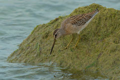 Short-billed Dowitcher Stock Image
