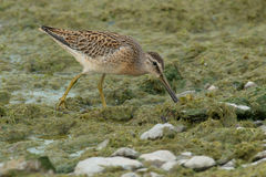 Short-billed Dowitcher. Juvenile Short-billed Dowitcher probing the plant matte on the beach looking for a meal Stock Photo