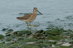 Short-billed Dowitcher. Juvenile Short-billed Dowitcher wading in the shallow water Royalty Free Stock Photography