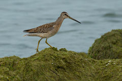 Short-billed Dowitcher. Juvenile Short-billed Dowitcher walking in the plant matte on the beach Stock Image