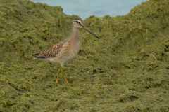 Short-billed Dowitcher. Juvenile Short-billed Dowitcher walking in the plant matte on the beach Royalty Free Stock Photo