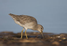 Short-billed Dowitcher, Limnodromus griscus. Feeding in shallow blue water Royalty Free Stock Images