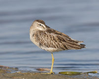 Short-billed Dowitcher, Limnodromus griscus. Sleeping on the beach with blue water Royalty Free Stock Photos