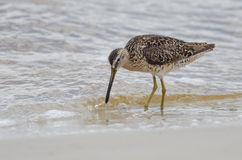 Short-billed Dowitcher (Limnodromus griseus) Stock Images