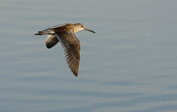 Short-billed dowitcher, Limnodromus griseus. In flight in New York, USA, summer Royalty Free Stock Images