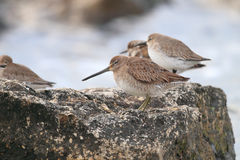 Short-billed Dowitcher. (Limnodromus griseus)  in Florida, North America Stock Photography