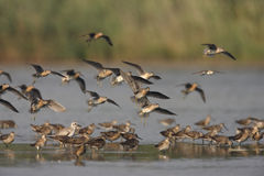 Short-billed dowitcher, Limnodromus griseus. Group in water in New York, USA, summer Stock Photography