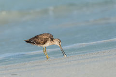 Short-billed dowitcher Limnodromus griseus. Wading in the shallow water and looking down into the water Royalty Free Stock Photography