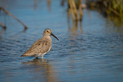 Short-billed dowitcher. Limnodromus griseus, in water Stock Photography