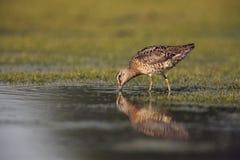 Short-billed dowitcher, Limnodromus griseus Stock Photo