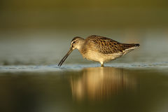 Short-billed dowitcher, Limnodromus griseus Stock Photo
